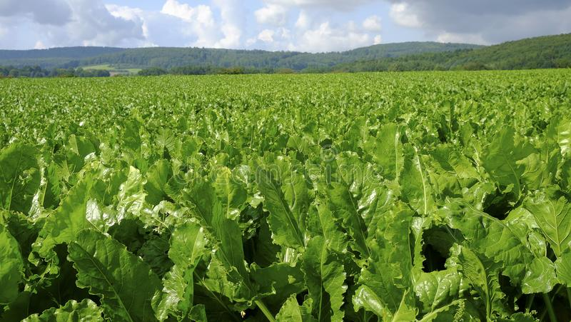 Agricultural field with sugar beet plants. royalty free stock images