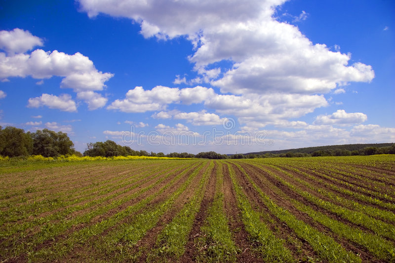 Green agricultural sow field in country royalty free stock photo
