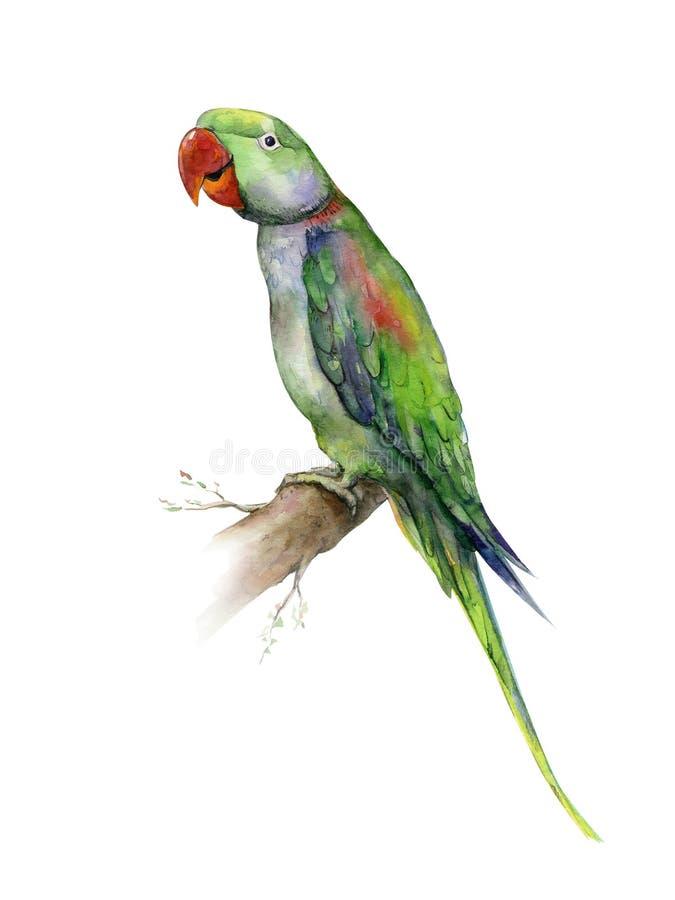 Green Alexandrine parrot watercolor on white. stock illustration