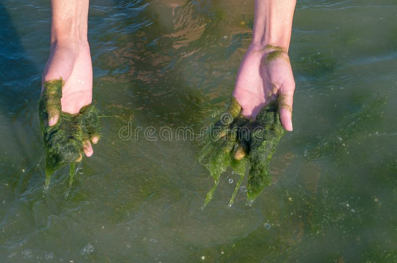 Green algae on the hands, muddy water, sea pollution. Ecological problem royalty free stock photos