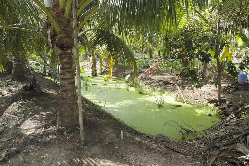 Green Algae in Irrigation Canal. Green algae floats on the surface of an irrigation canal in a coconut cultivation area near Bangkok, Thailand royalty free stock images