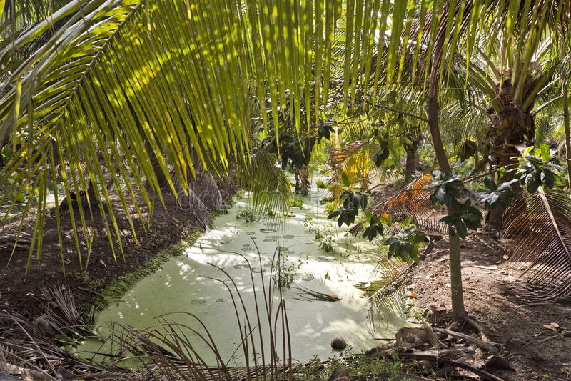 Green Algae in Irrigation Canal. Green algae floats on the surface of an irrigation canal in a coconut cultivation area near Bangkok, Thailand stock image