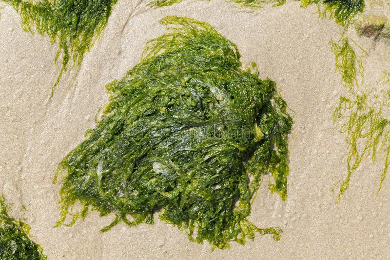 Green algae on the sand of the beach stock image