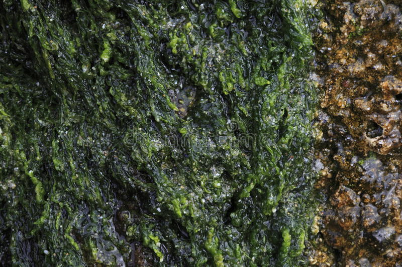 Download Green Algae And Sandstone Royalty Free Stock Images - Image: 12925589
