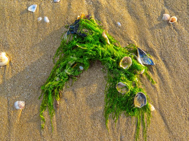Green algae on a sandy beach stock images