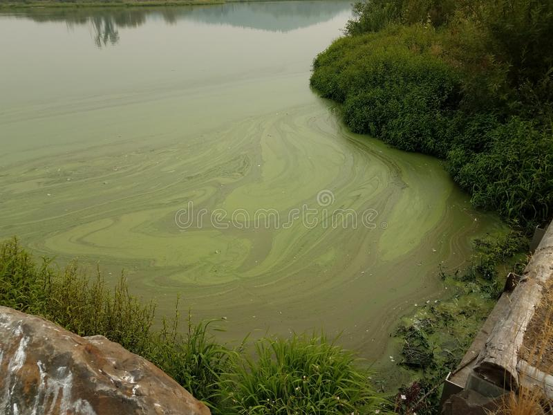 Green algae on stagnant water in pond with brown and green grasses. And plants stock photo