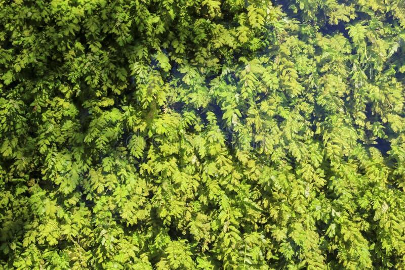 Green algae under clean, transparent water on Lake Ohrid, Republic of North Macedonia stock photos