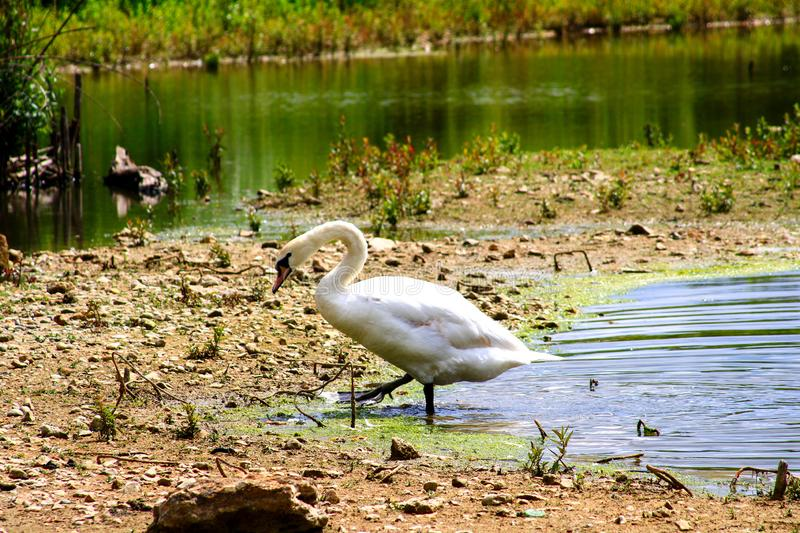 Swan coming out of the water of a pond while walking royalty free stock image