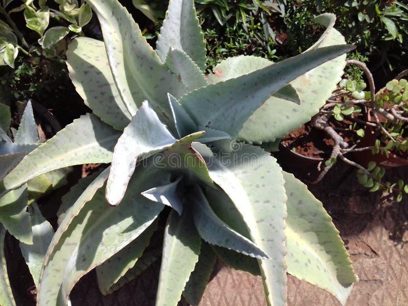 Green aloevera plant royalty free stock photos