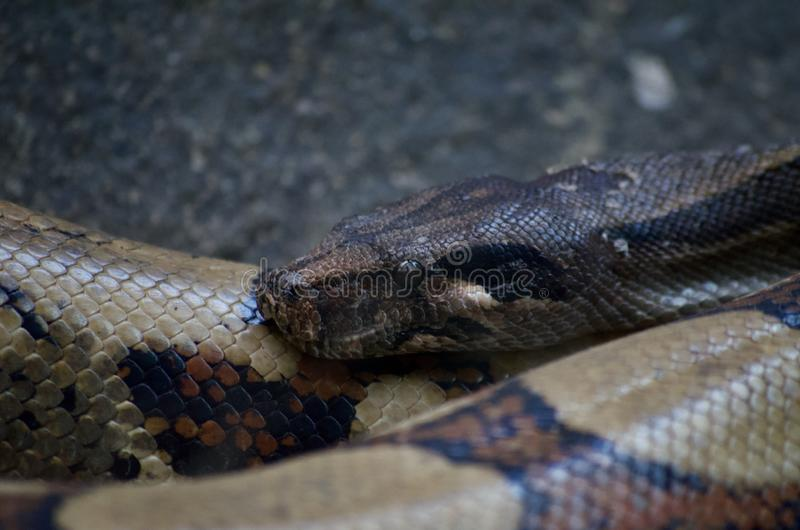Green anaconda stock images