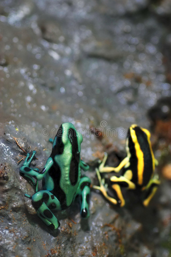 Free Green And Black Poison Frog Royalty Free Stock Photos - 6137208
