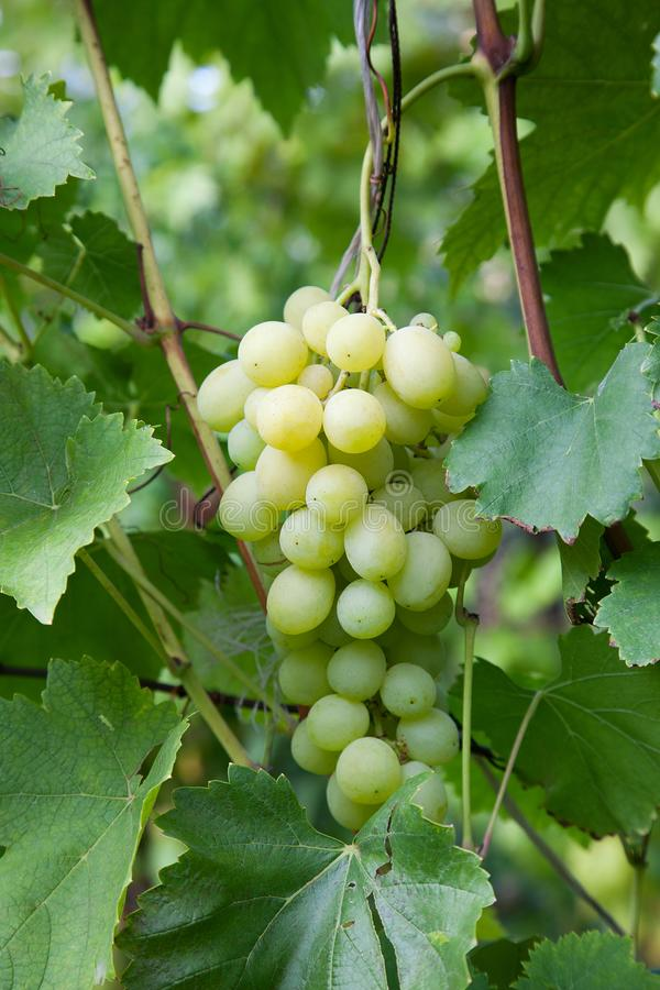 Free Green And Yellow Berries Of Grapes On Branch With Leaves In Vineyard At Autumn. Fresh Ripe Juicy Grapes Riping On Branches In Stock Photo - 131743180