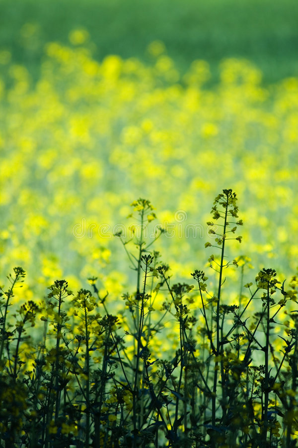 Free Green And Yellow Field Royalty Free Stock Images - 2748909