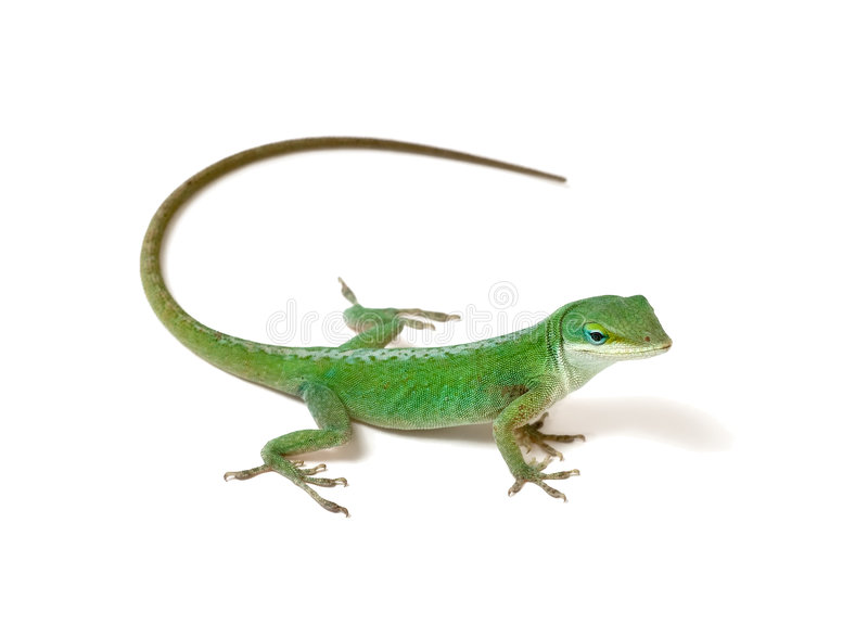 Green Anole. Lizard on white background stock photography