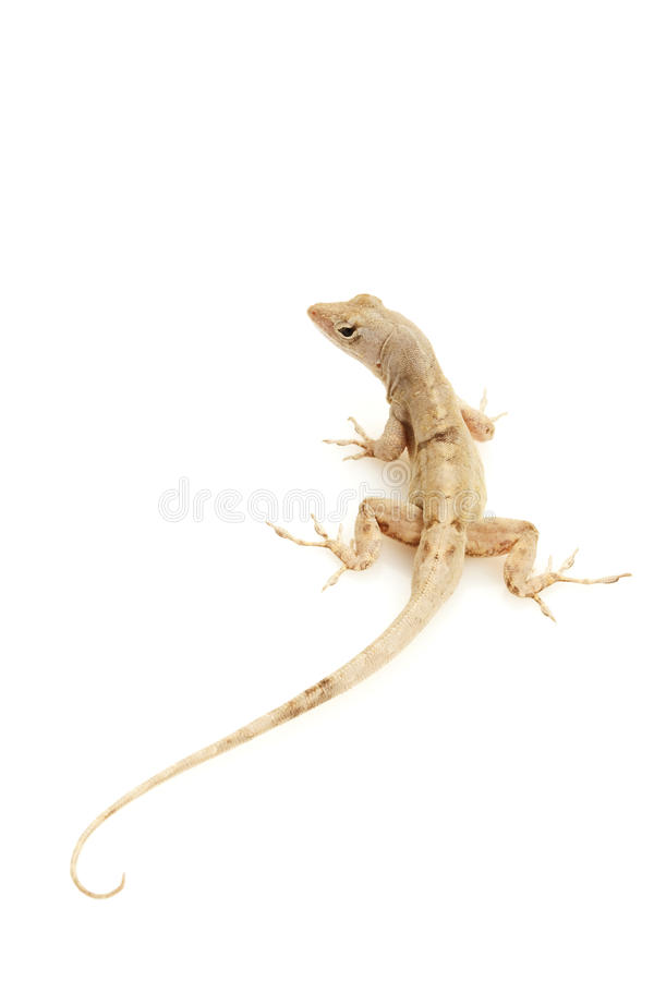 Free Green Anole Stock Image - 9854781