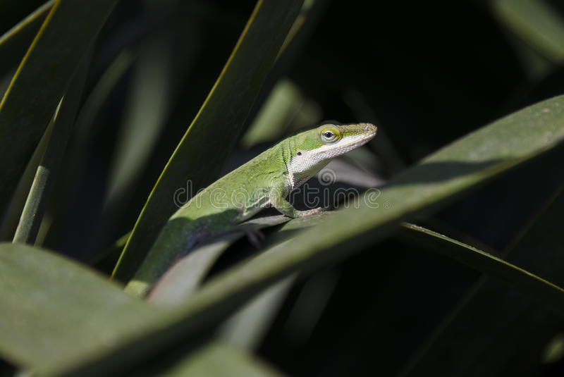 Green Anole Chameleon Lizard royalty free stock photo