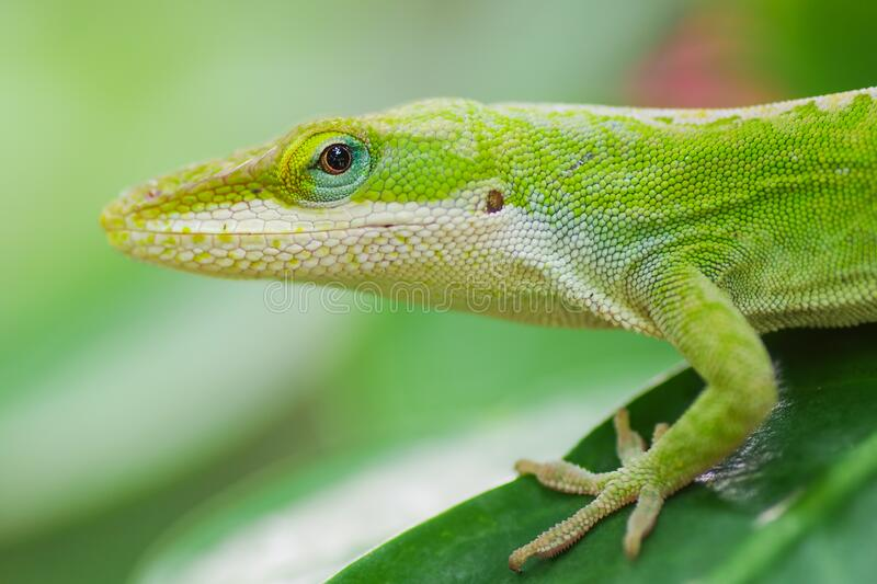 Green anole close-up on the Big Island of Hawaii.  stock photos