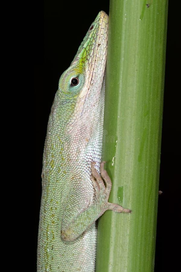 Green Anole Lizard (Anolis Carolinensis) stock image