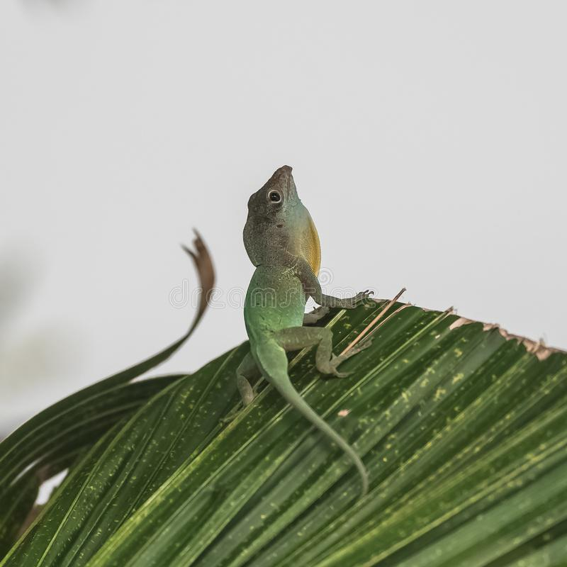 Green anole, lizard stock photos