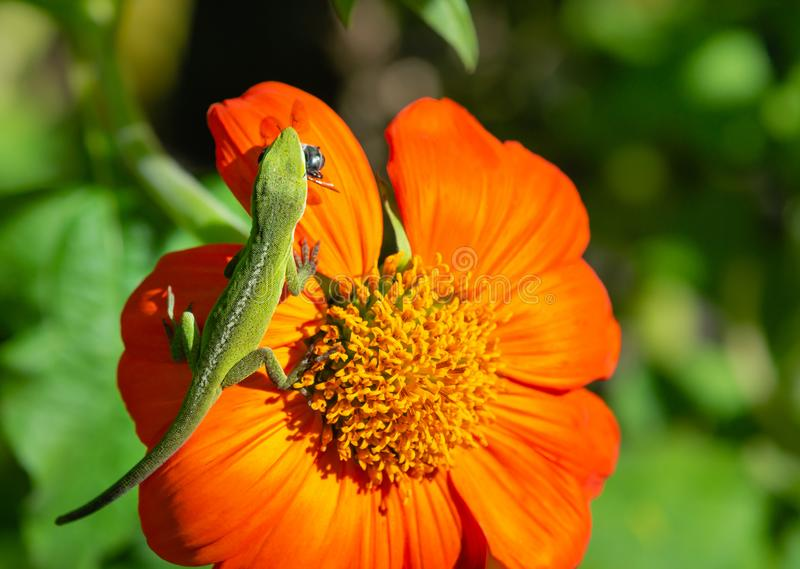 Green Anole lizard preying on a flower stock photo
