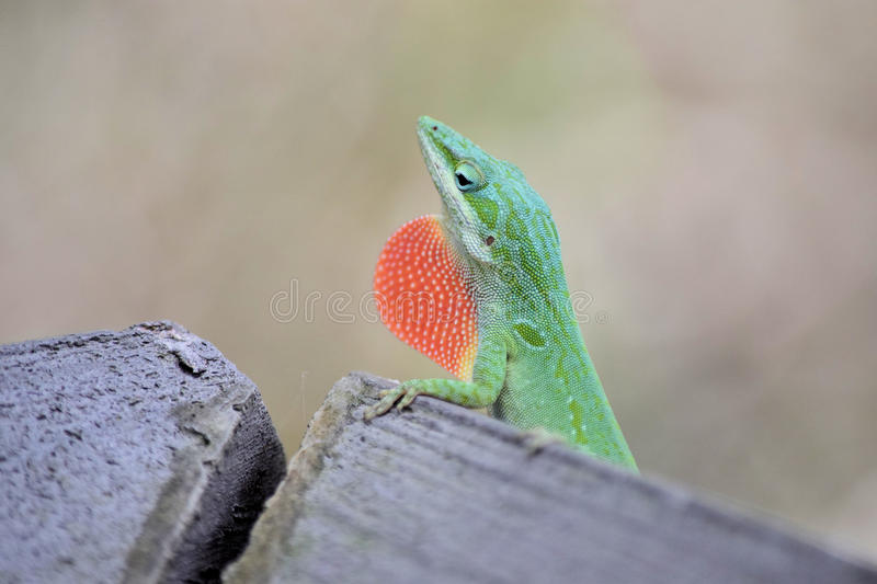 Green Anole lizard with red throat displayed stock image