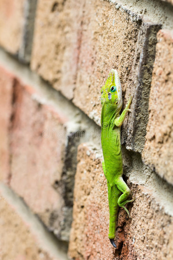 Green anole lizard on wall stock image
