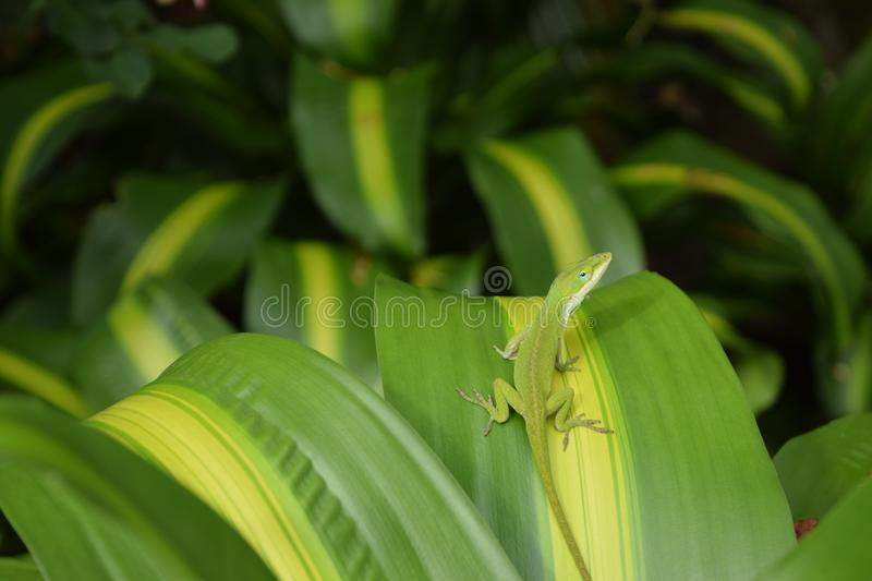 Green Anole Lizard on green and yellow leaf stock photography