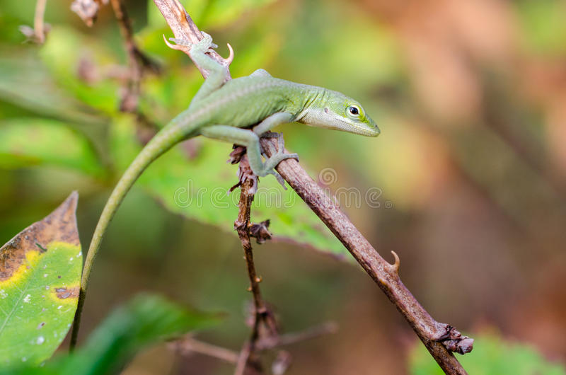 Green Anole Macro Close-up stock images