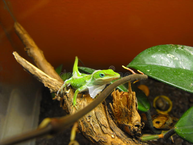 Green anole shedding stock photography