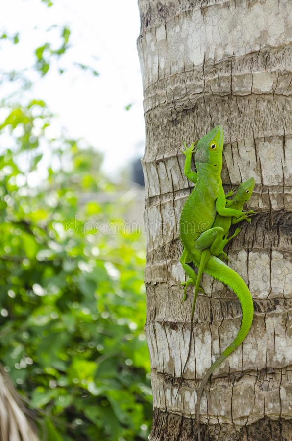 Green Anoles Mating stock photography