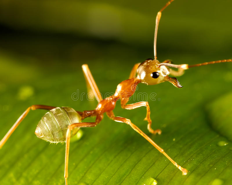 Download Green ant stock photo. Image of detail, background, macro - 27736484