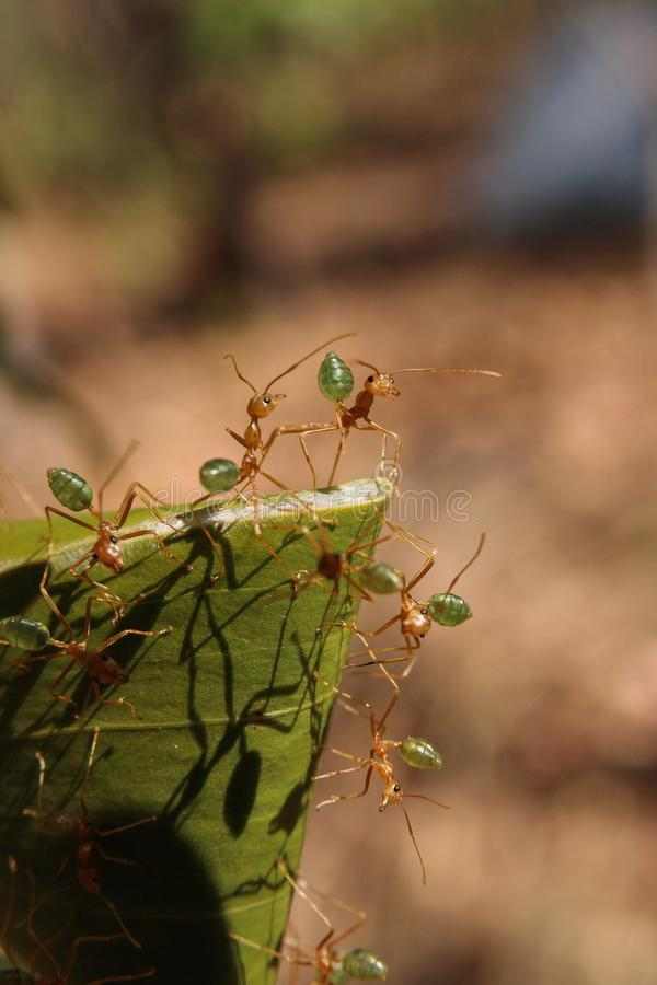 Green ants Oecophylla smaragdina nest in a tree. Northern Territory, Australia stock image