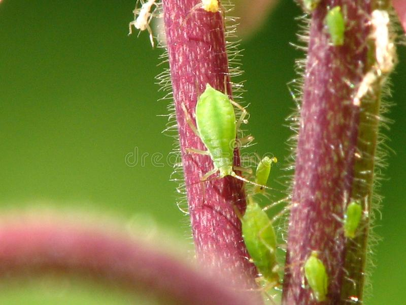 Download Green Aphids Close-up On A Red Stem Stock Illustration - Illustration: 26906657