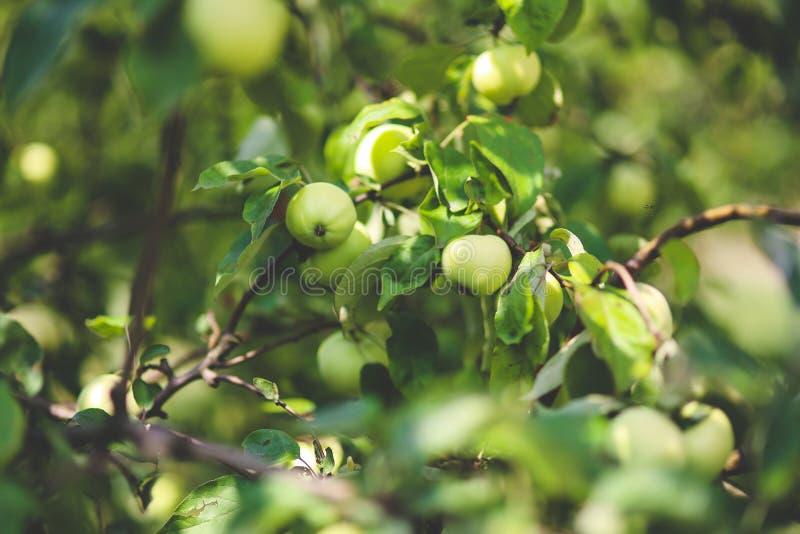 Green Apple Free Public Domain Cc0 Image