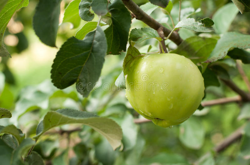 Download Green apple on branch stock image. Image of organic, agriculture - 26623769
