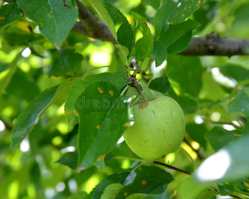 Download Green Apple On A Branch With Leaves Stock Photo - Image of health, fresh: 83718940
