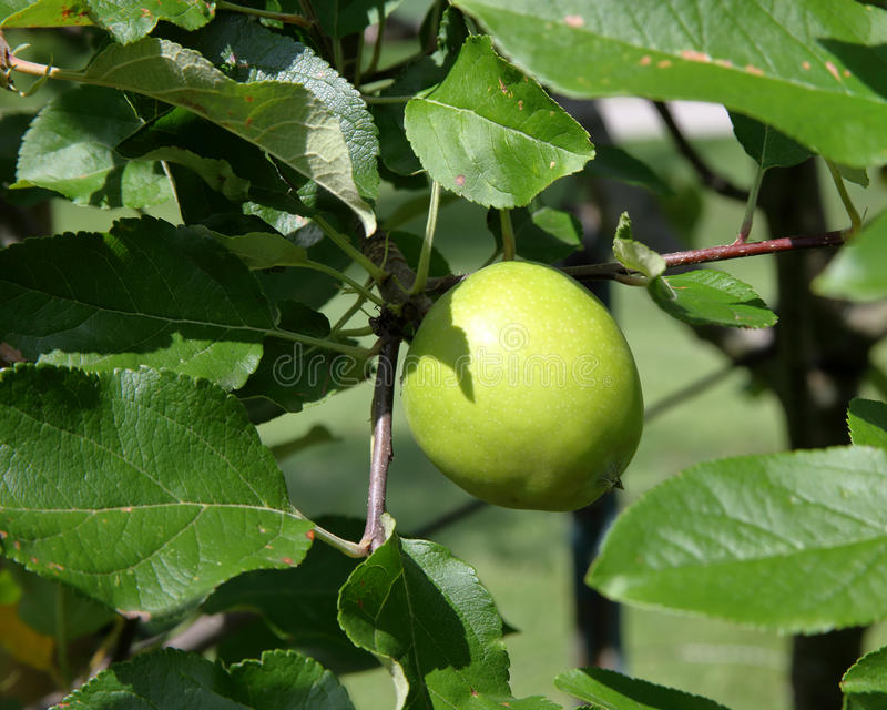 Download Green Apple On A Branch With Leaves Stock Photo - Image: 83719414