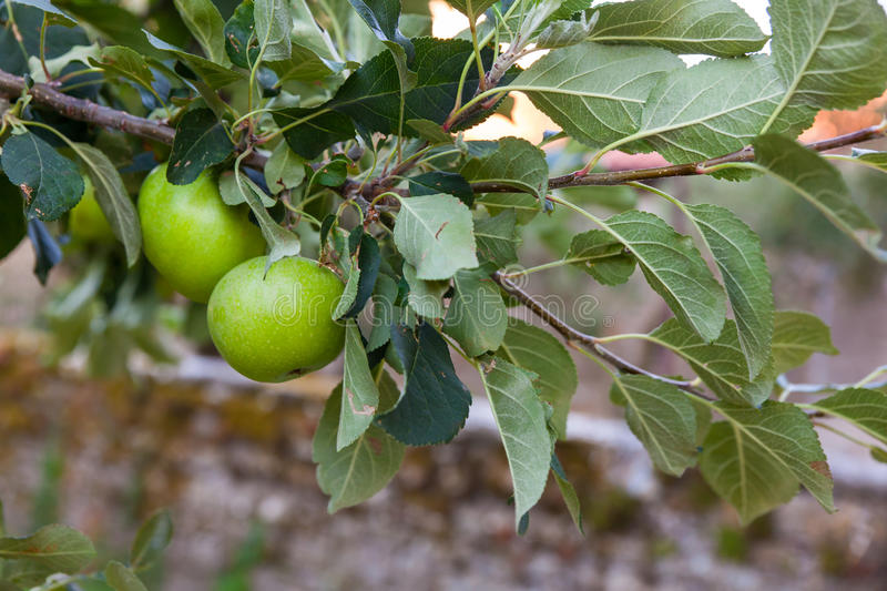 Green apple fruit on the branch. Biological green apple fruits on the branch stock image