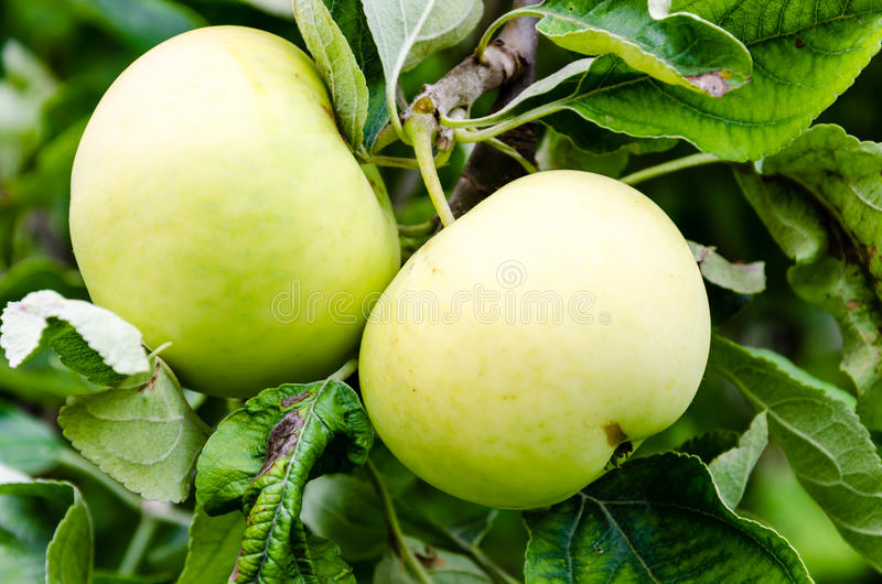 Green apple growing on a tree royalty free stock photos