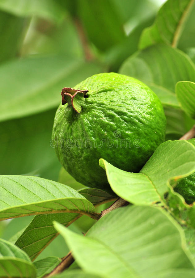 Green Apple Guava fruit royalty free stock photography