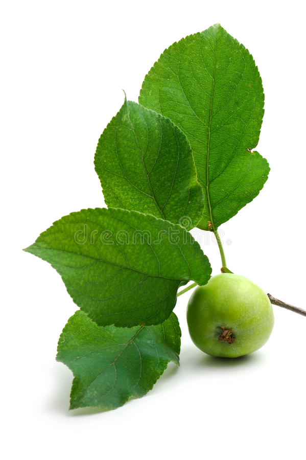 Green apple and leaf stock image