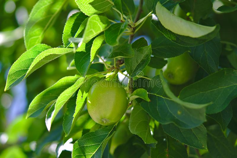 Green apple tree with few apples growing royalty free stock image