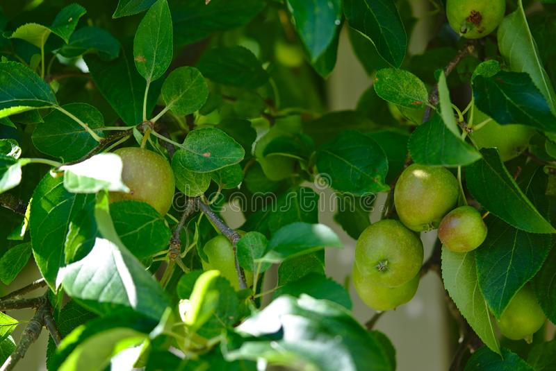 Green apple tree with several apples growing stock photography