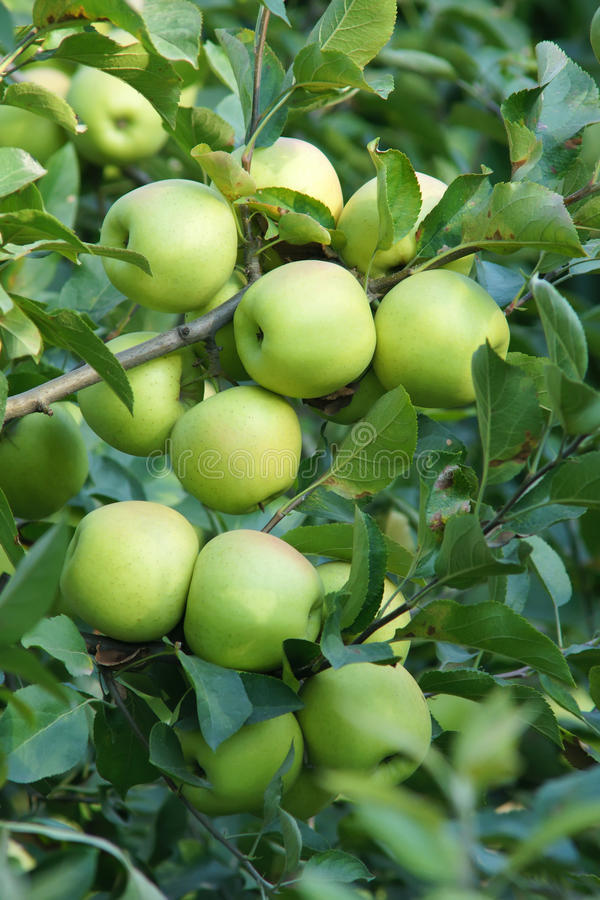 Green apples. Many green apples in tree stock photos