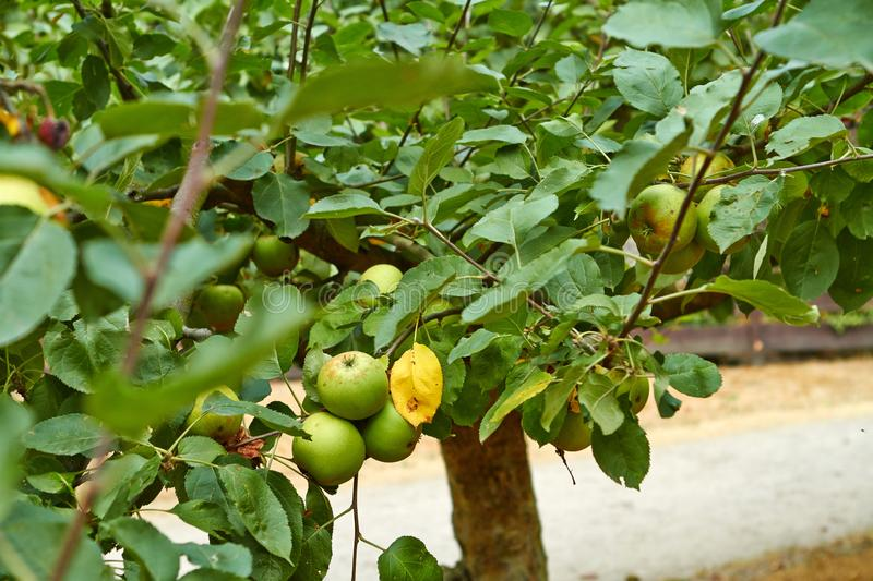 Green apples on the apple tree branch. Netherlands July royalty free stock photography