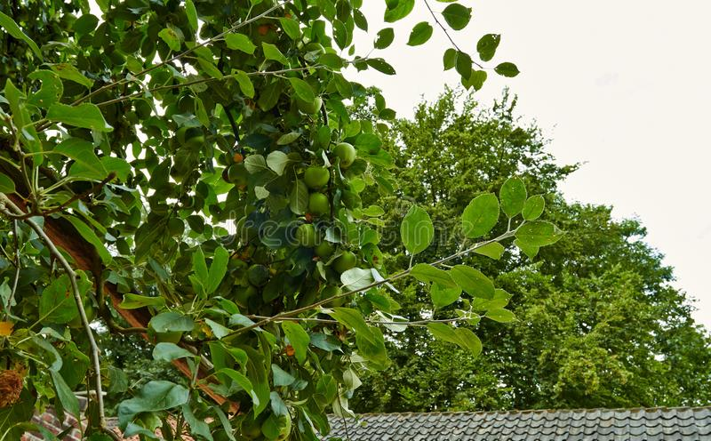 green apples on a branch of an apple tree. Netherlands, July royalty free stock photography