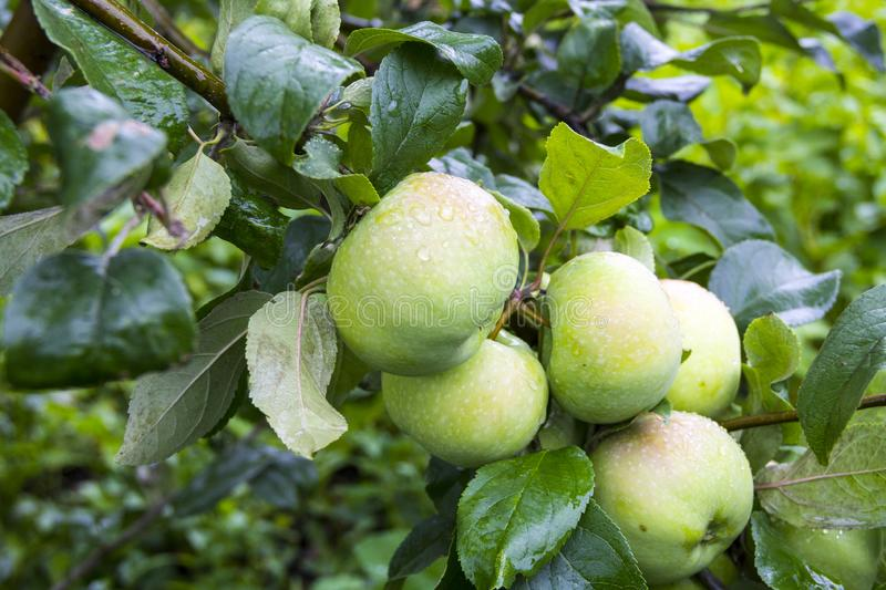 Green apples on the branch of an Apple tree after the rain stock images