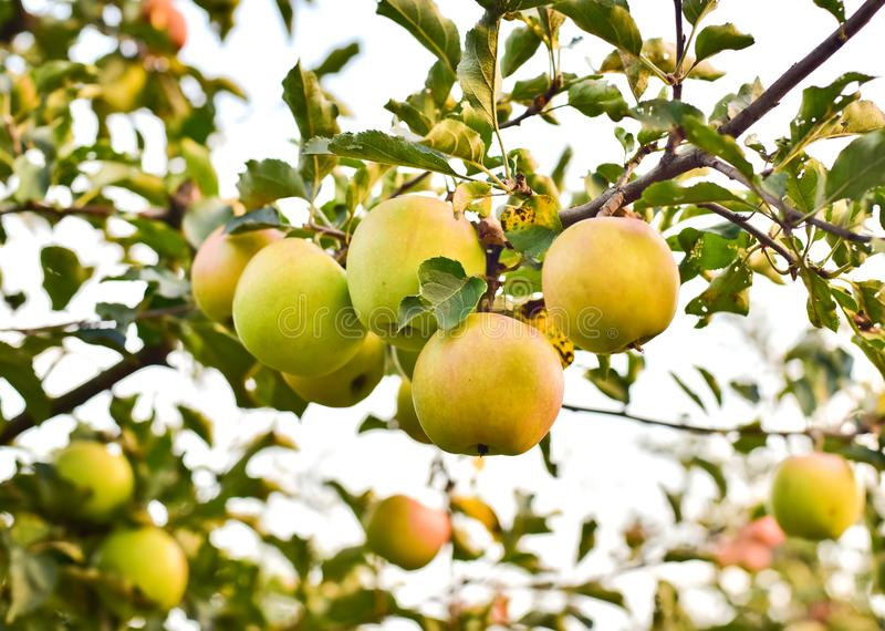Green apples on a branch with green leaves stock images
