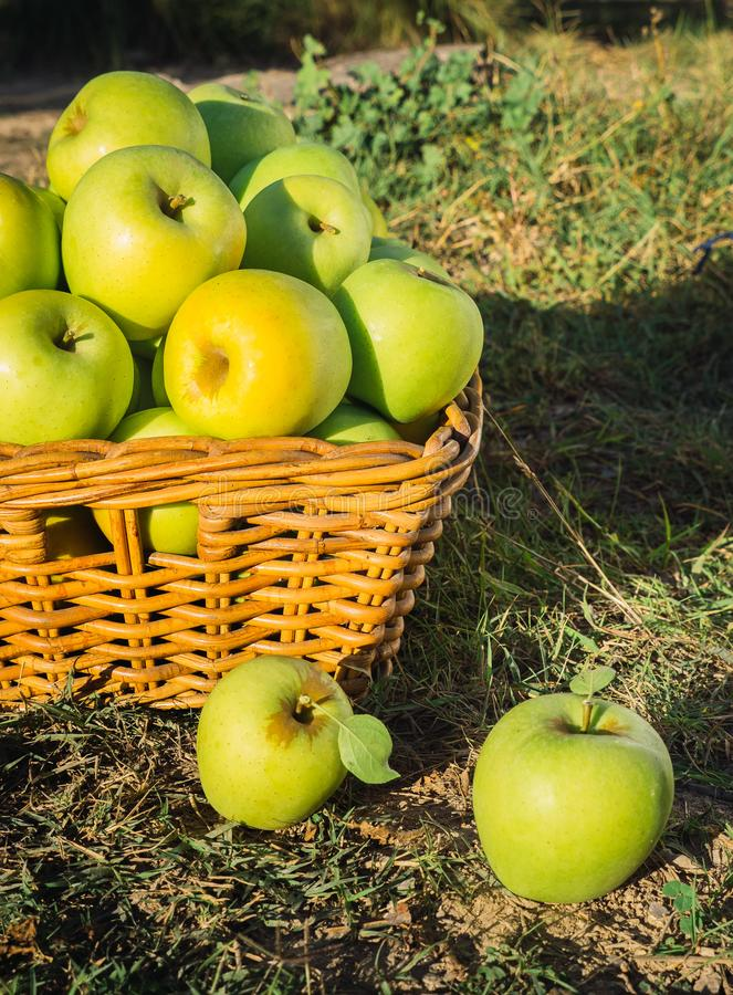 Green apples in full harvest in a basket. In the countryside stock photography