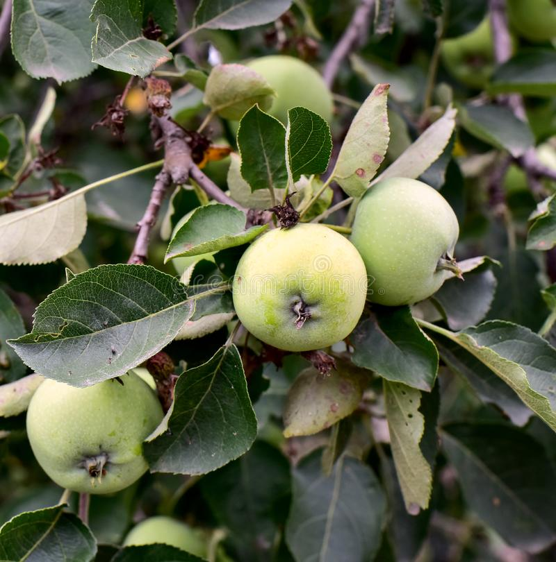 Green apples in green leaves on a tree branch royalty free stock photo